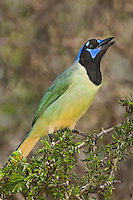 551110059 a wild green jay cyanocorax yncas perches on a plant on santa clara ranch hidalgo county rio grande valley texas united states