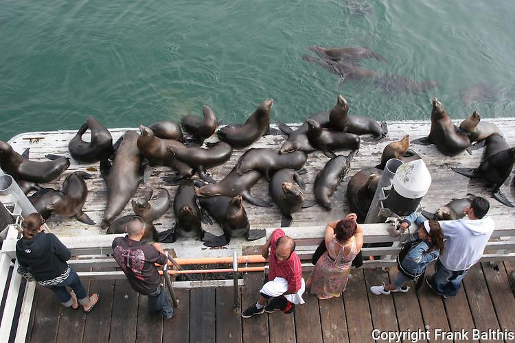 Visitors & CA sea lions at Santa Cruz Muni Wharf