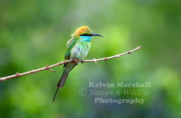 Green bee-eater (Merops orientalis) (sometimes little green bee-eater) is a near passerine bird in the bee-eater family. Bundala National Park, Sri Lanka.