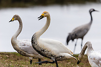 Sweden, Lake Hornborga. Annual migration of Common Cranes. Whooper Swan.