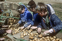 Potato gathering, largely by school children, on the farm of Tommy Craig, Drumahoe, near Londonderry, N Ireland, July 1978, 197807000201c<br /><br />Copyright Image from Victor Patterson, 54 Dorchester Park, <br />Belfast, UK, BT9 6RJ<br /><br />t1: +44 28 9066 1296 (from Rep of Ireland 048 9066 1296)<br />t2: +44 28 9002 2446 (from Rep of Ireland 048 9002 2446)<br />m: +44 7802 353836<br /><br />victorpatterson@me.com<br />www.victorpatterson.com<br /><br />Please see my Terms and Conditions of Use at VICTORPATTERSON.COM. It is IMPORTANT that you familiarise yourself with them.<br /><br />Images used on the Internet must be visibly watermarked i.e. ©VICTORPATTERSON.COM within the body of the image and copyright metadata must not be deleted. Images used on the Internet have a size restriction of 4kbs and are chargeable at the then current NUJ rates.<br /><br />This image is only available for the use of the download recipient i.e. television station, newspaper, magazine, book publisher, etc, and must not be passed on to any third party. It is also downloaded on condition that each and every usage is notified within 7 days to victorpatterson@me.com<br /><br />The right of Victor Patterson to be identified as the author is asserted in accordance with The Copyright Designs And Patents Act (1988).