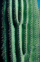 Close-up of Saguaro cactus
