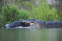 American Alligator (Alligator mississipiensis), adults fighting, Myrtle Beach, South Carolina, USA