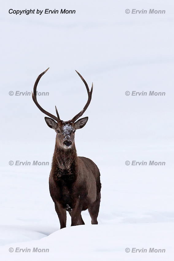 Two red deer standing in the snow