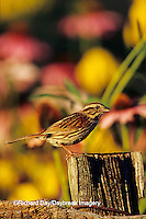 01575-01018 Song Sparrow (Melospiza Melodia) on fence post near flower garden, Marion Co.  IL