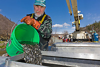 Technician Doug Dawson at the Gulkana hatchery puts sockeye salmon fry into oxygenated tanks to be transferred into the crop duster airplane for relocation to a nearby lake.