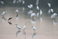 Herons and egrets (Great white egret, Chinese egret, Cattle egret, Black-capped night heron), and one Blackwinged stilt in the Nansha wetland reserve, Guangdong province, China