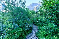 France, Hautes-Alpes (05), Villar-d'Arène, jardin alpin du Lautaret, la mégaphorbiaie, zone de grandes plantes vivaces sur sol humide