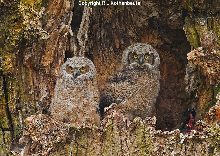 Two great horned owl nestlings huddled in a tree cavity exploring their surroundings and waiting for their next meal.<br />
