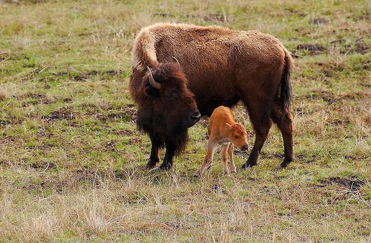 Bison Female and Newborn Calf, Madison Junction, Yellowstone National Park, Wyoming