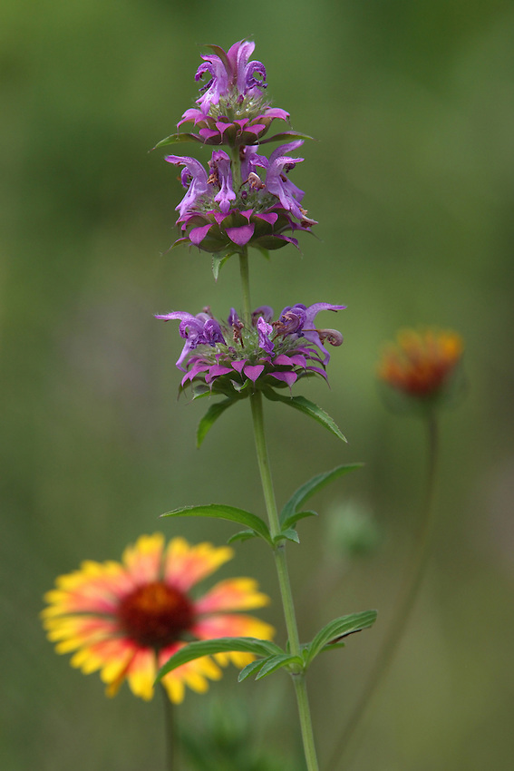 Sundance & Purple Horse Mint Wildflowers. Note the out of focus Sundance flowers at different stages of development.