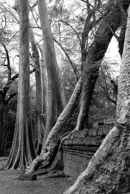 Siam Reap, Cambodia,Tree Roots taken over the temple