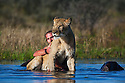 Botswana, Kalahari, Valentin Gruener  cuddling with a lioness in a water hole; he raised her on a private reserve from a small dying cub to a healthy adult
