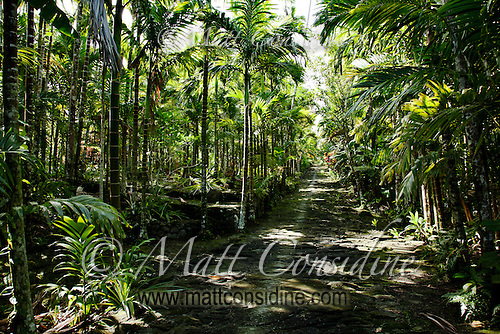 Old Traditional Path Between Palms, Yap Micronesia(Photo by Matt Considine - Images of Asia Collection) (Matt Considine)