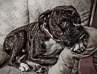 It' a long boring wait for someone to play with for Porky, a one year-old boxer.