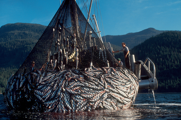 Salmon, commercial salmon seiner with a huge set of Sockeye salmon, Johnstone Straits, Vancouver Island, British Columbia, Inside Passage, Canada,