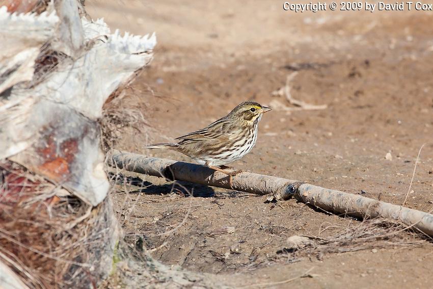 Savannah Sparrow, Pacific side Baja Sur, Mexico