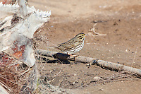 Savannah Sparrow, Pacific side Baja Sur, Mexico