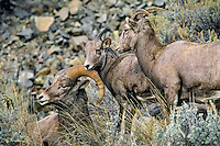 California bighorn sheep (Ovis canadensis)