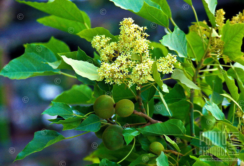 Flowering kukui nut tree on Big island
