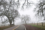 Foggy road through the oaks of the Sierra Nevada Foothills in Amador County, Calif.