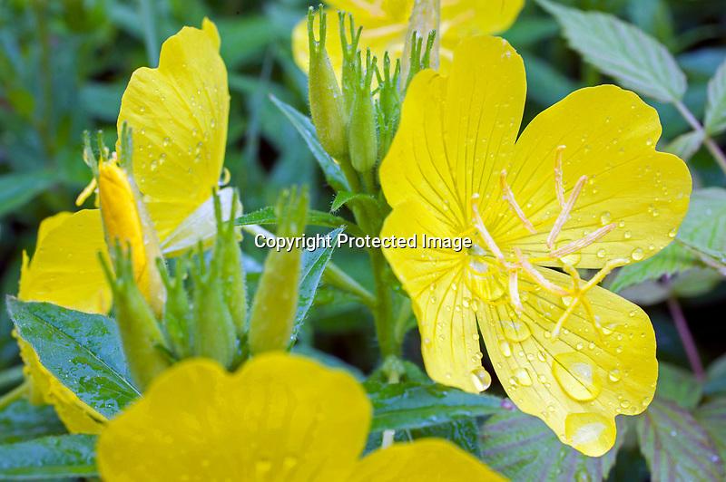 Rainy Primrose Blossoms