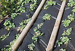 Strawberry plants growing under black plastic sheeting, UK