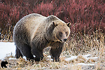 Grizzly bear in late autumn. Bridger-Teton National Forest, Wyoming.