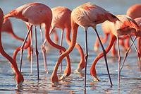 American Flamingos (Phoenicopterus ruber). feeding. Celestun Biosphere Reserve, Yucutan, Mexico. February.