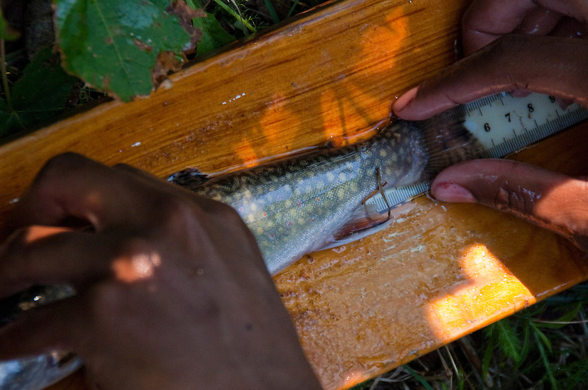 A researcher measures a coaster brook trout in the Salmon Trout River near Big Bay Michigan.