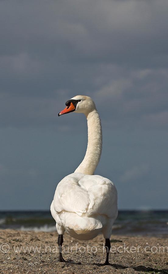 Höckerschwan, Höcker-Schwan, Schwan, Männchen, Cygnus olor, Mute Swan, Cygne tuberculé, Cygne muet