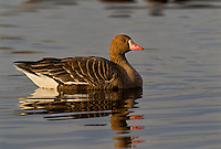537260018 a wild  greater white-fronted goose anser albifrons at colusa national wildlife refuge califonia