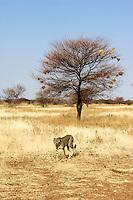 Cheetah at Otjitotongwe, Namibia