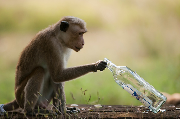A toque macaque investigates an empty Arrack bottle, the Sri Lankan coconut based spirit, after being attracted by the sweet scent. This rubbish was left after the large may festival, Vesak. Archaeological reserve, Polonnaruwa, Sri Lanka. IUCN Red List Classification: Endangered