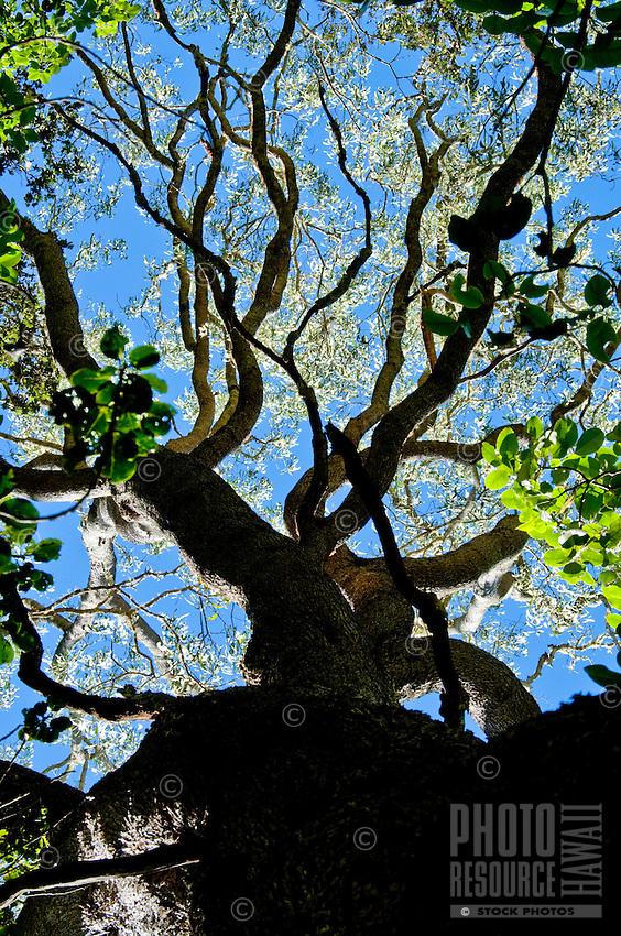 A koa tree on the slopes of Mauna Loa, Big Island.