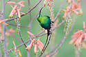 Malachite sunbird (Nectarinia famosa) male feeding on Aloe flower. Ndutu area, Ngorongoro Conservation Area NCA / Serengeti National Park, Tanzania.