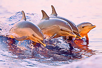 pantropical spotted dolphins, Stenella attenuata, juveniles and baby, jumping out of boat wake at senset, Kona, Big Island, Hawaii, USA, Pacific Ocean