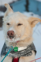 Portrait of one of Sven Haltman's dog at the village checkpoint of Ruby in Interior Alaska during the 2010 Iditarod