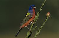 Painted Bunting, Passerina ciris, male on huisache tree, Starr County, Rio Grande Valley, Texas, USA