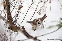 Ruffed grouse on the snowy ground.
