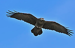 Common black-hawk soaring