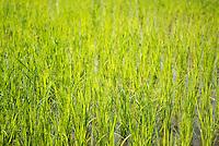 Rice paddy fields, Lake Toba (Danau Toba), North Sumatra, Indonesia