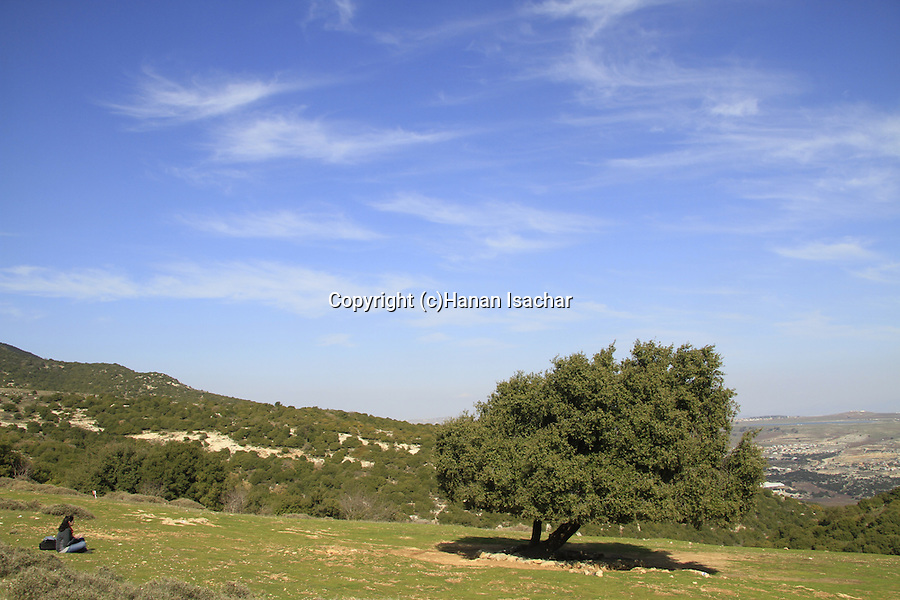 Israel, Upper Galilee, Kermes Oak (Quercus calliprinos) at Ein Zeved on Mount Meron