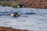 Children's Pool, La Jolla, California; a Harbor Seal (Phoca vitulina) swims in the shallow water of the tidepools at low tide