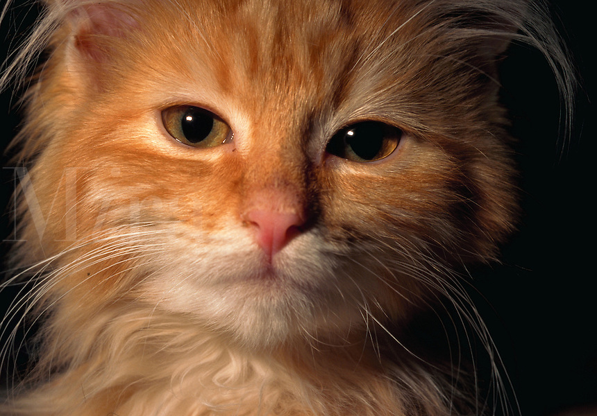 Close up of the face of a young Maine Coon cat.