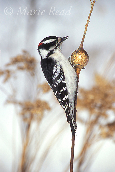 Downy Woodpecker (Picoides pubescens), male investigates a goldenrod gall in search of the fly larva that forms part of the woodpecker's winter diet, New York, USA<br /> Slide # B96-641