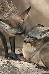 bat-eared foxes grooming, captive at the Living Desert