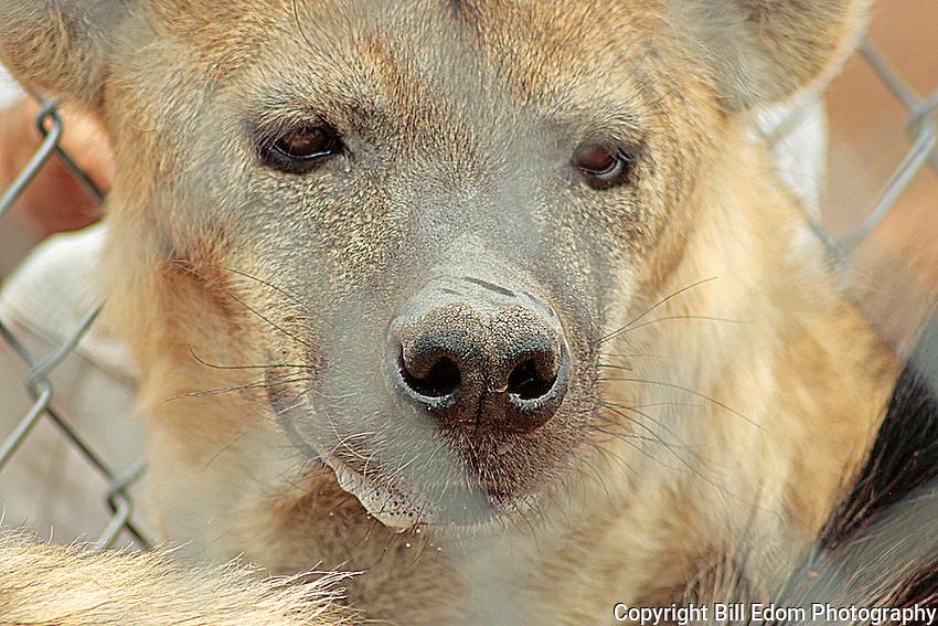 Portrait of a Hyena.