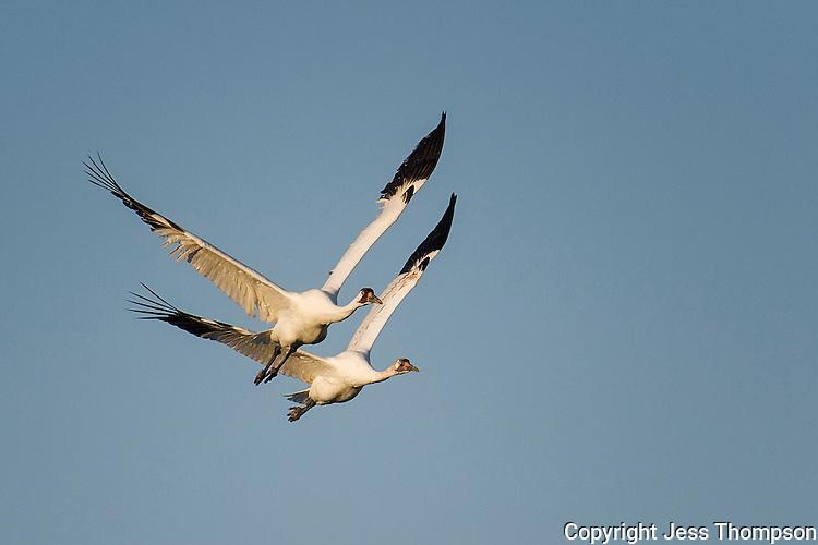 Whooping Cranes in flight.