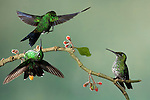 Green-crowned Brilliants fighting over a flower (Heliodoxa jacula), Costa Rica